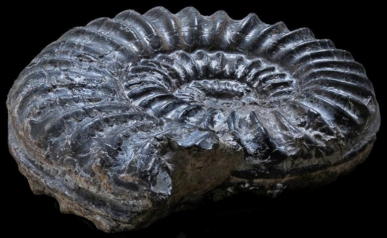 Ammonite © Philippe Martin